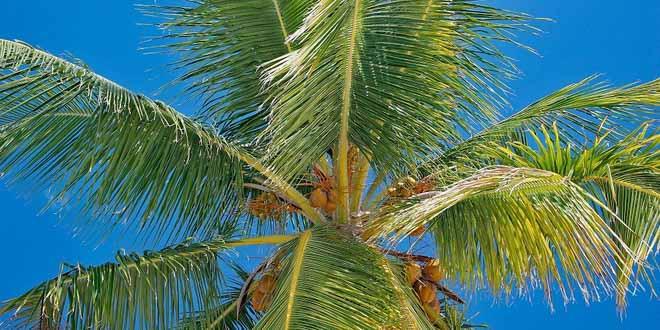 В конце июля в Доминикане состоится Фестиваль кокоса