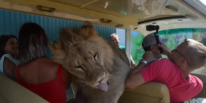 В Крыму лев Филя залез в машину с туристами, чтобы пообниматься (видео)
