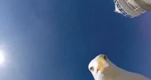 Чайка стащила у туриста камеру, чтобы снять видео и сделать селфи