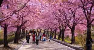 В Японии из-за коронавируса отменили фестиваль цветения и любования сакурой 8