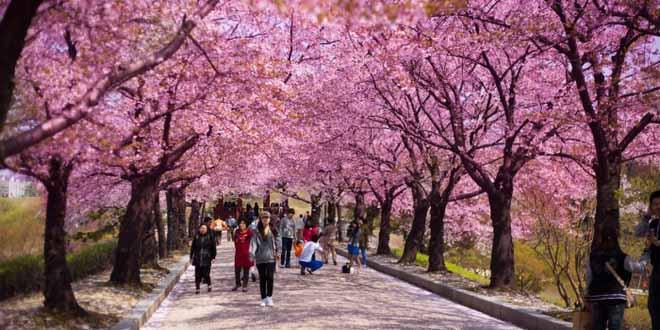 В Японии из-за коронавируса отменили фестиваль цветения и любования сакурой 1