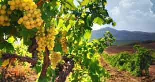 Популярные вина Италии 9